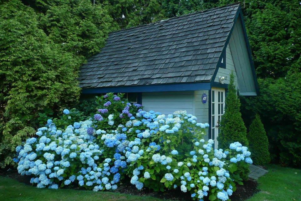 Цветущие кусты гортензии у стены хозблока