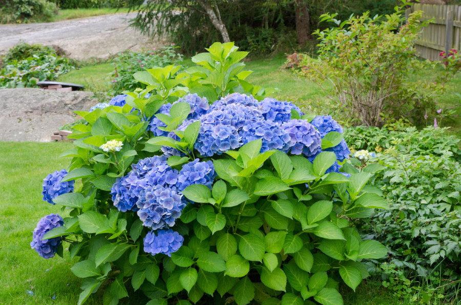 Садовая гортензия в начале периода цветения