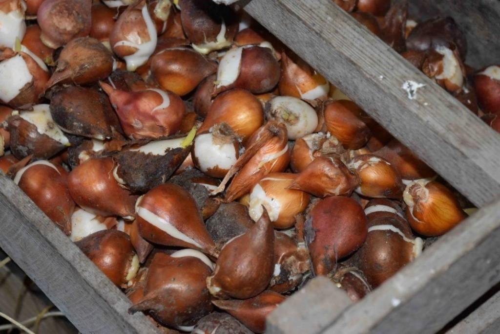 Хранение луковиц тюльпанов в деревянном ящике
