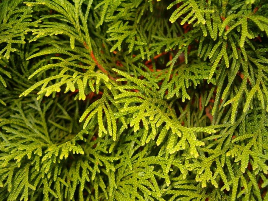 Фото зеленой хвои туи западной