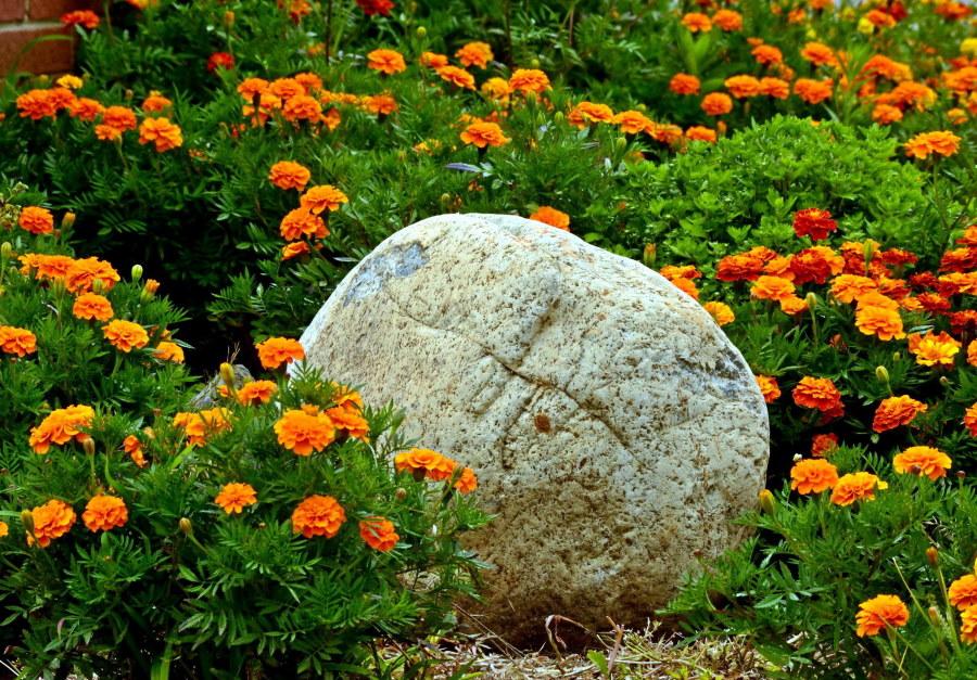 Большой валун среди оранжевых бархатцев