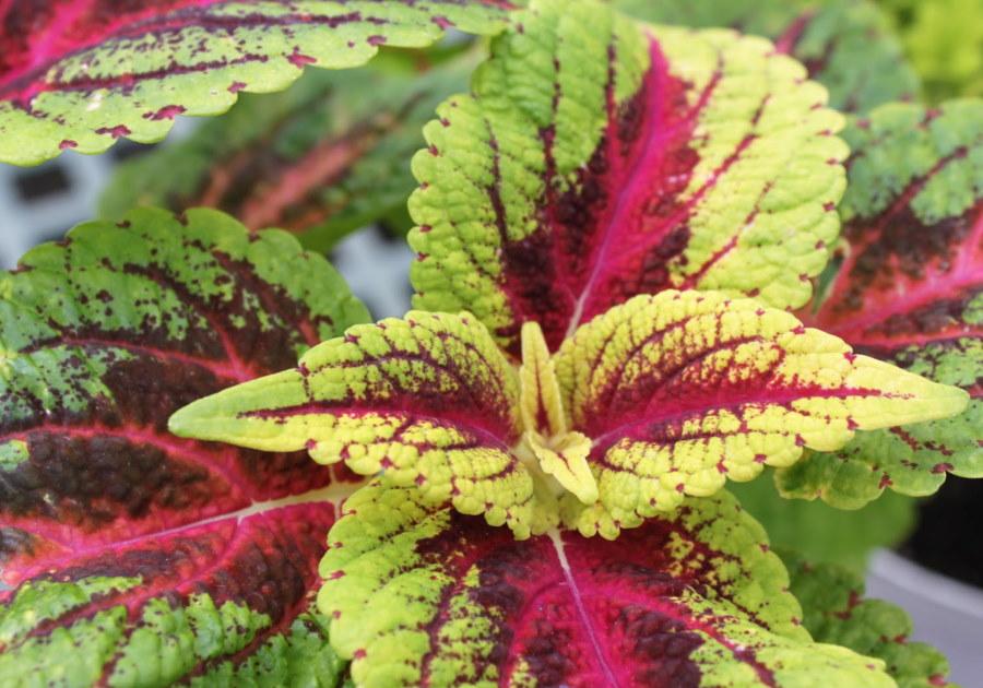 Бардовые прожилки на мясистых листьях колеуса Блюме