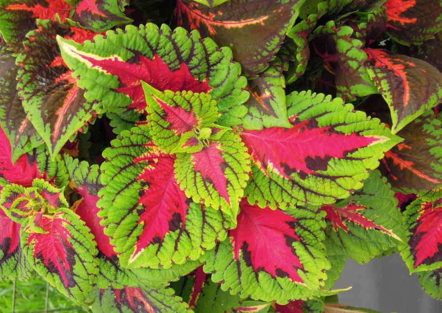 Розово-зеленые листья на колеусе сорта Mix Empire