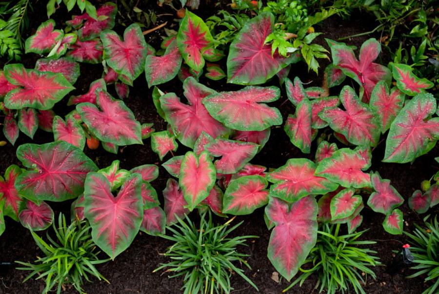 Пестрая листва на низких кустиках колеусов