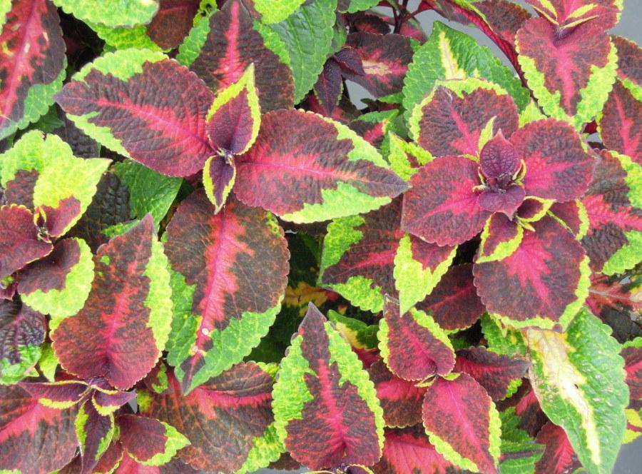 Зеленые пятна на фиолетовых листьях колеуса Premium Sun Pineaplee Sunrise
