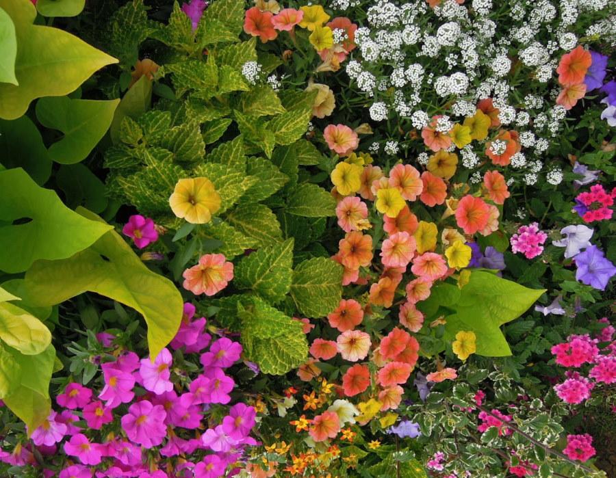Сочетание колеуса с другими однолетними цветами