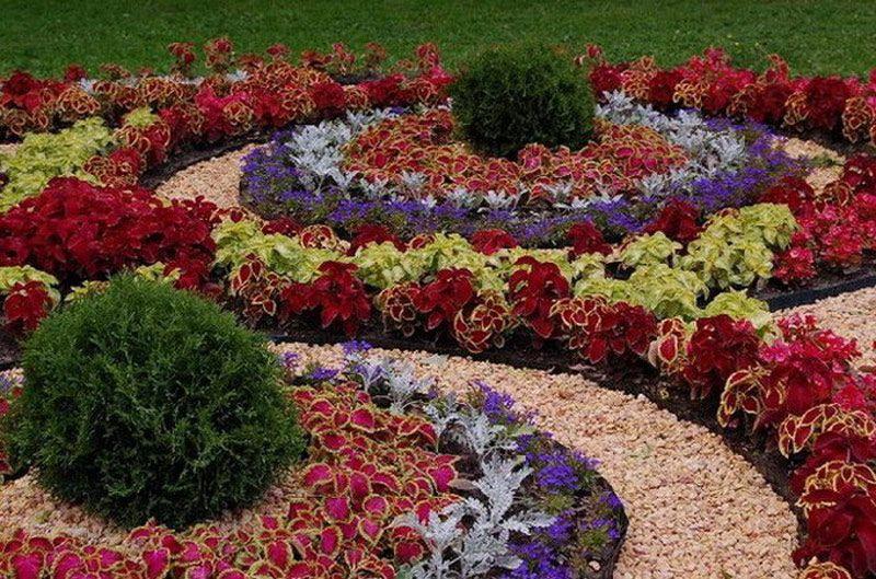 Комбинация колеусов с хвойными растениями