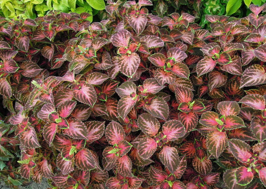 Расцветка листьев колеус сорта Wizard Pastel