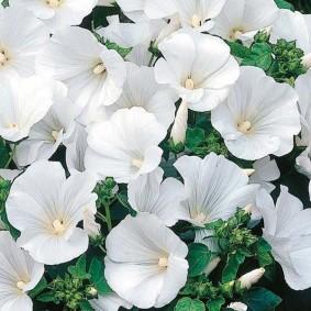 Привлекательные цветки на кустике лаватеры сорта Монблан