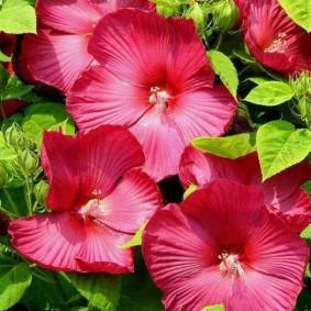 Яркие цветки на лаватере популярного сорта Рубин