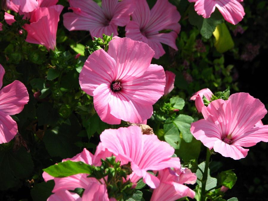 Темные прожилки на розовых лепестках цветов лавареты Пинк бьюти