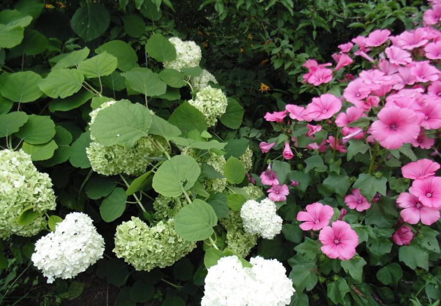 Выращивание лаватеры вместе с другими растениями