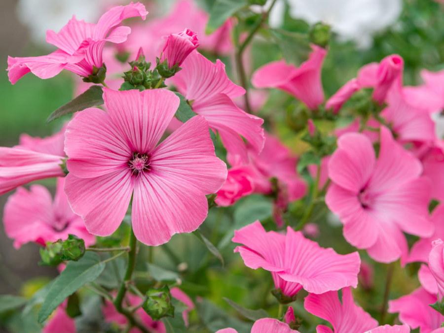 Розовые цветки трехмесячной лаватеры вблизи