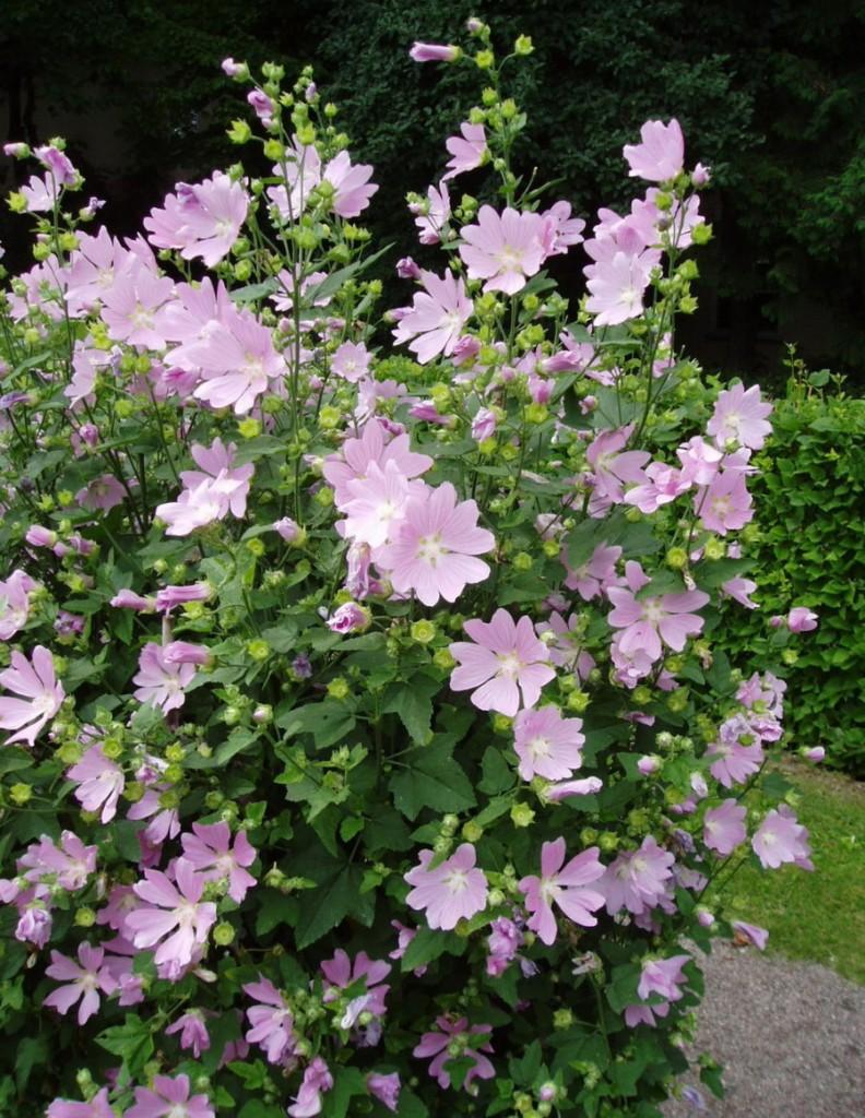 Пышный куст лаватеры тюрингенской в период цветения