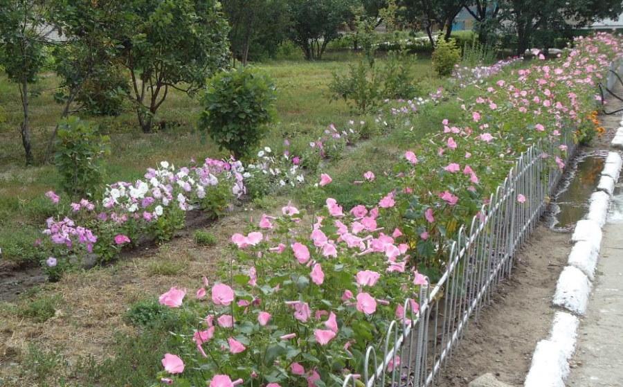 Посадки лаватеры с розовыми цветками в парке