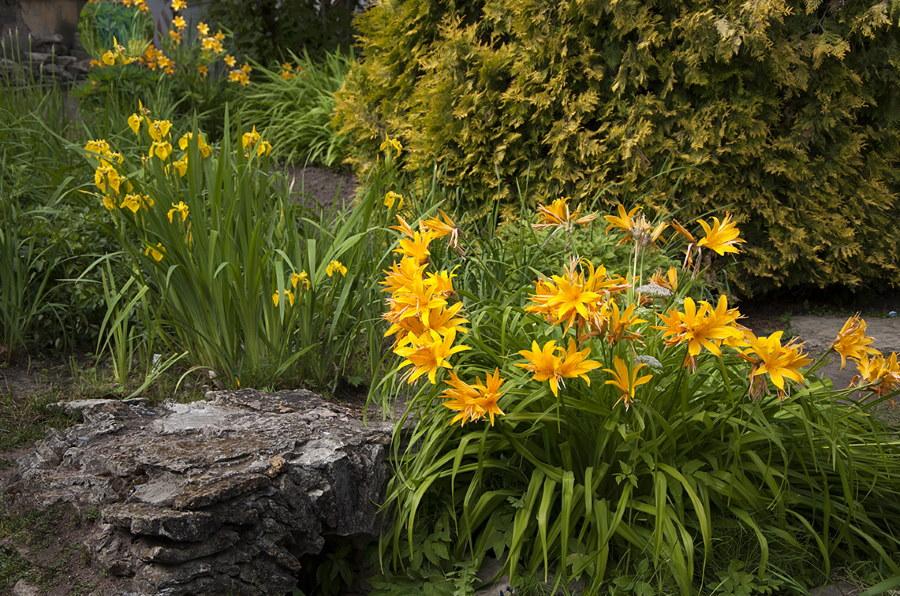 Оранжево-желтые лилейники на клумбе около камня