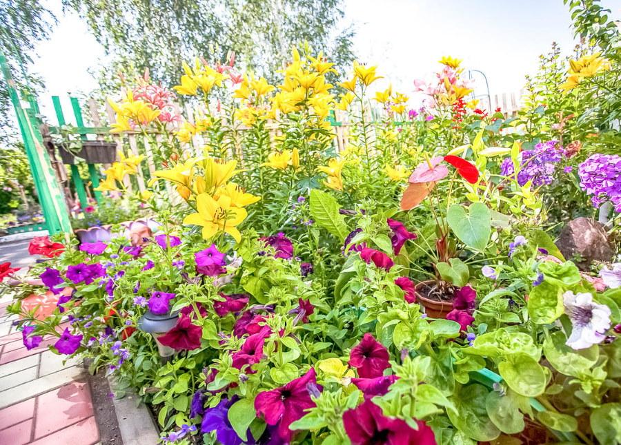 Темные цветки петунии перед желтыми лилиями