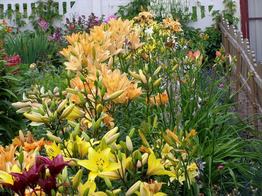 Палисадник с цветущими лилиями около деревянного забора