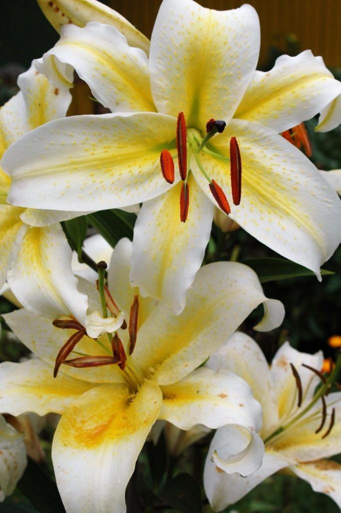 Фото цветка белоснежной линии крупным планом