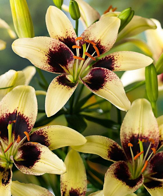 Огромный цветок лили сорта Блэк Спайдер с желтоватыми лепестками
