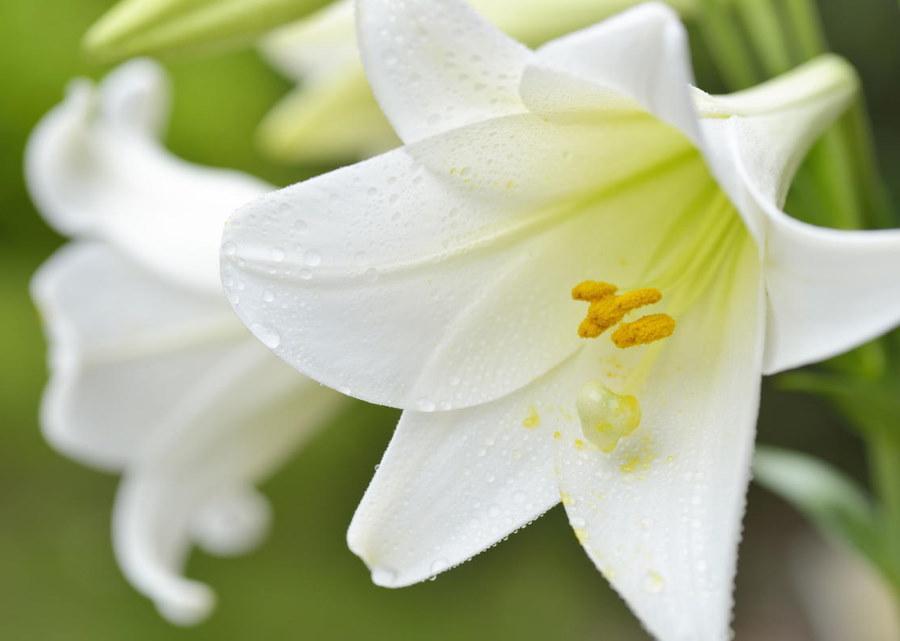 Бело-кремовый цветок лилии сорта Snow Queen
