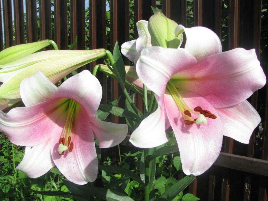 Розово-белые лилии сорта Элегант на дачном участке