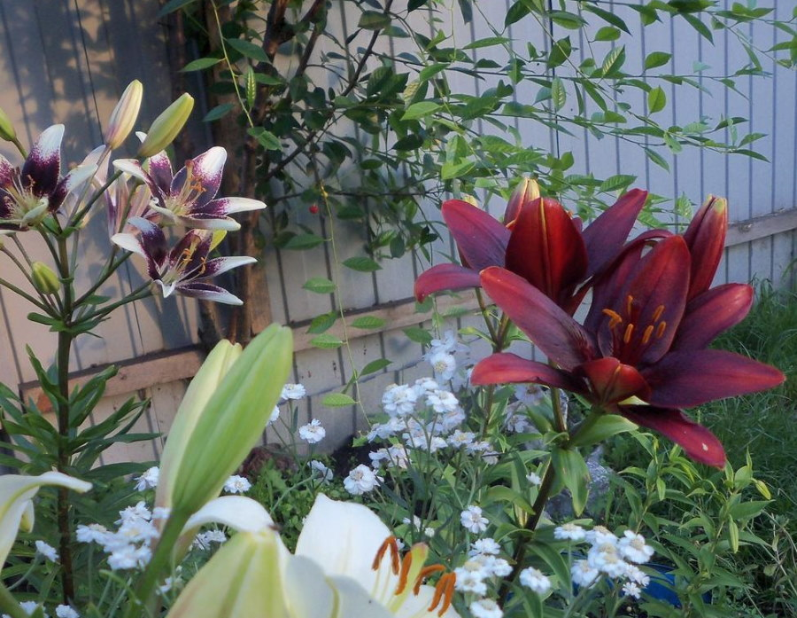 Багрово-бардовая лилия сорта Мапира около забора