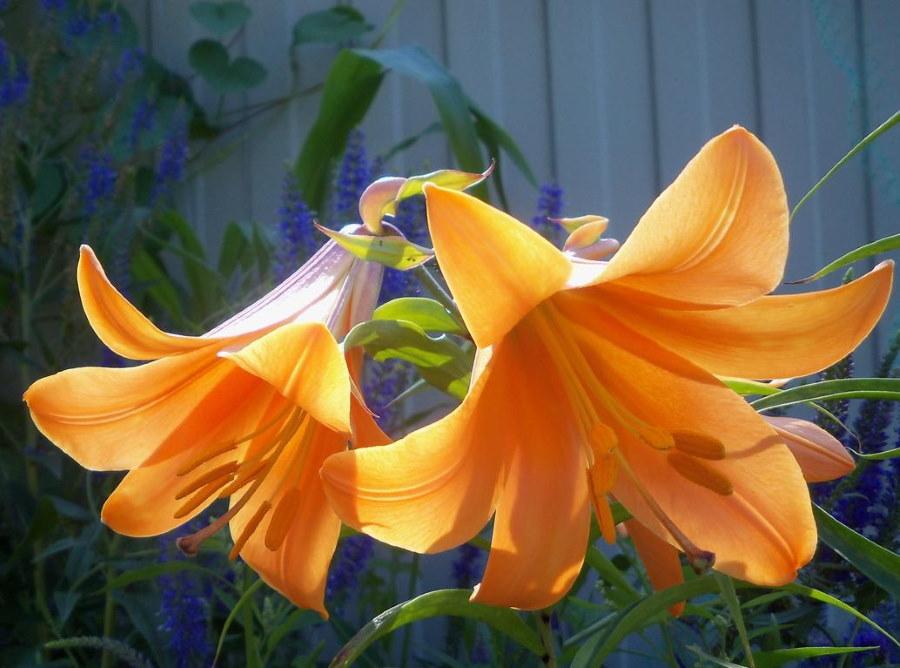 Оранжевые цветки лилии неизвестного сорта