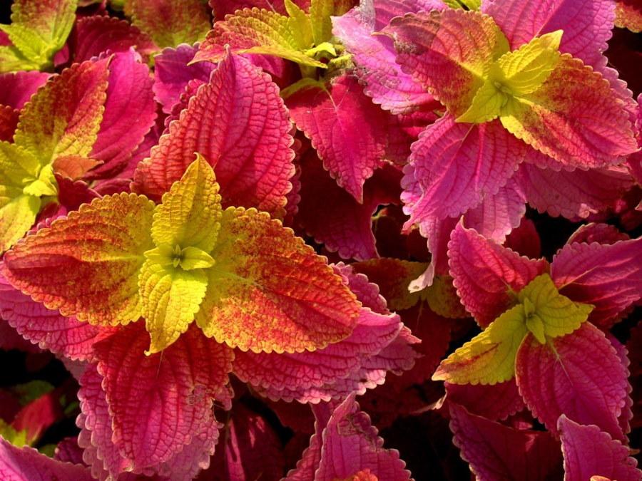 Красивые листья садового колеуса с благородным отливом