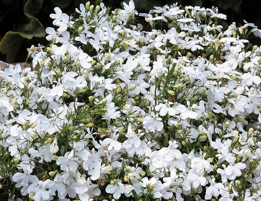 Красивые цветки на кустике лобелии сорта Белая леди