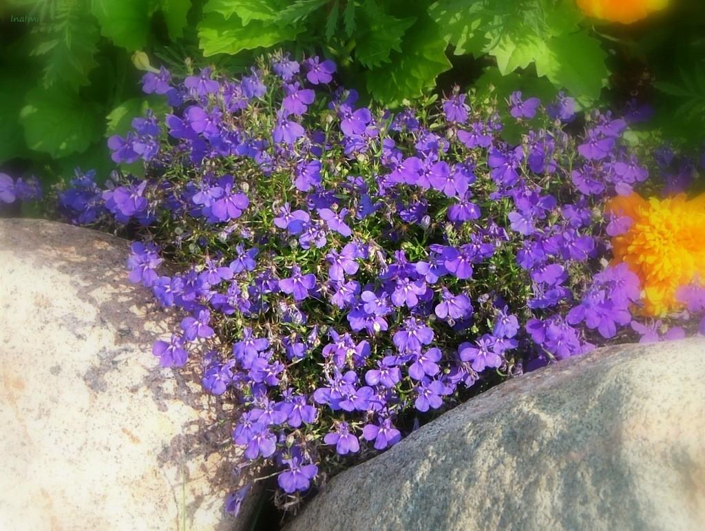 Ежевидная лобелия с сиреневыми цветками между каменных валунов