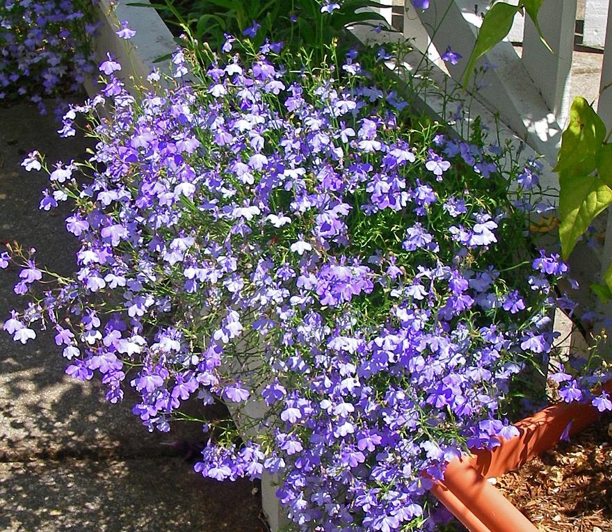 Лобелия сорта Fountain Blue с голубыми цветками