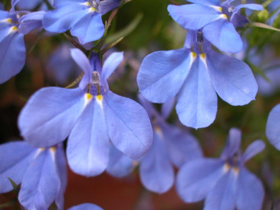 Фото цветков лобелии на террасе загородного дома