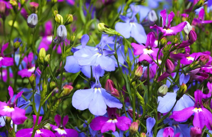Комбинация фиолетовых и голубых цветков лобелии на клумбе