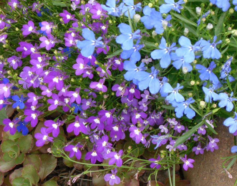 Фото садовой лобелии с цветками разной окраски