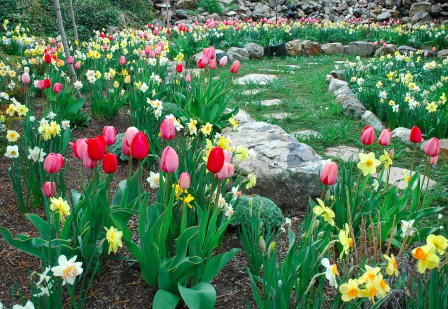 Нарциссы и тюльпаны в каменистом саду ранней весной