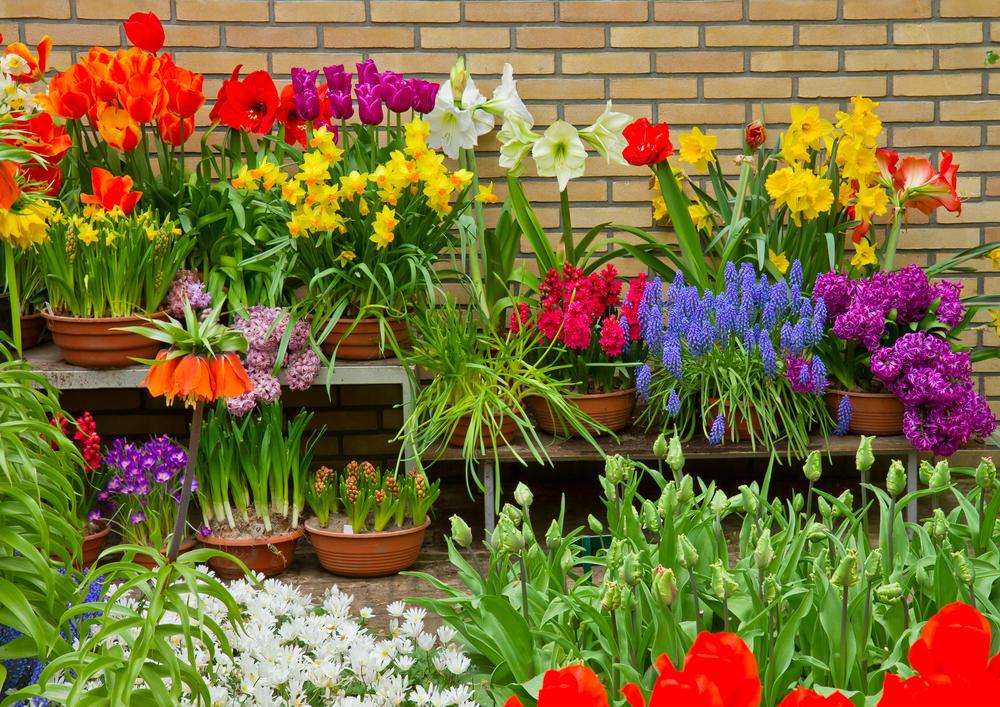 Многолетние цветы в пластиковых горшках