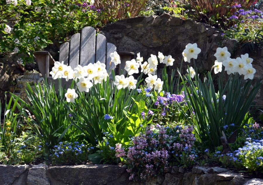 Желто-белые цветки нарциссов ранней весной