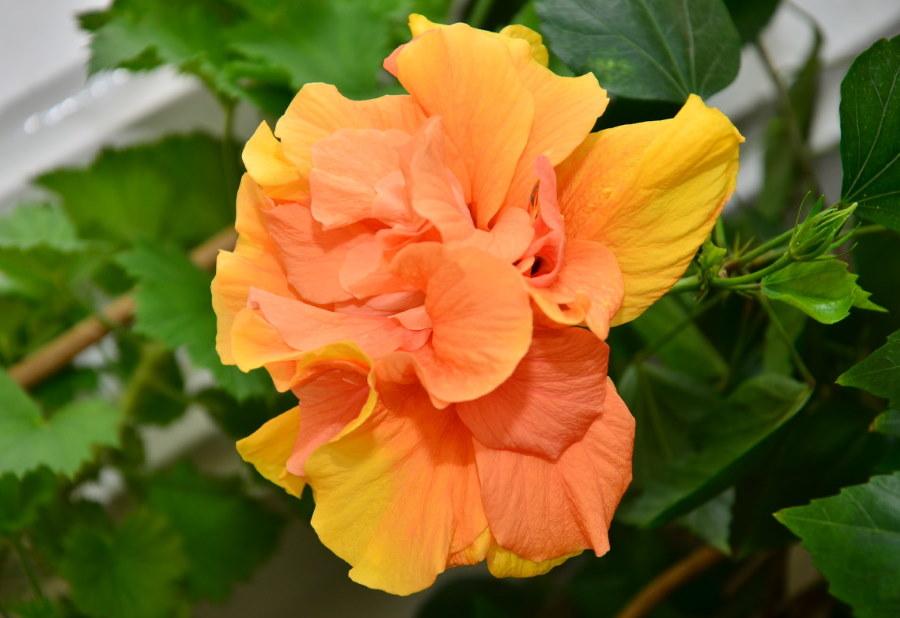 Оранжевый цветок махрового гибискуса
