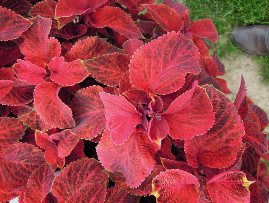 Красно-багровая листва на колеусе в конце лета