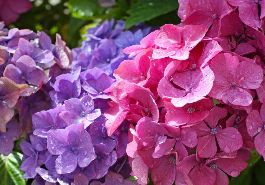 Расцветка цветков гортензии на почве с повышенной кислотностью
