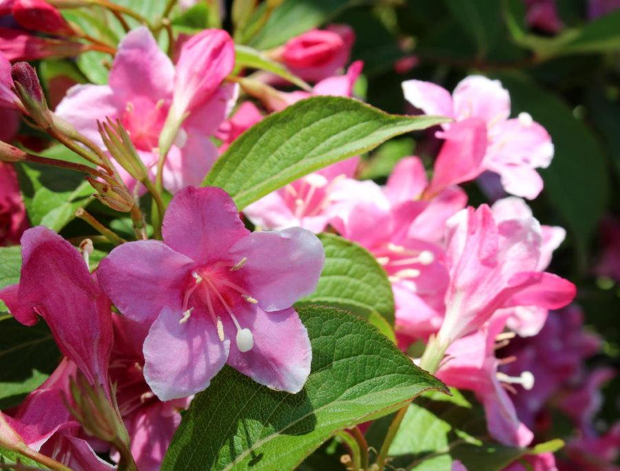 Нежно-розовые цветки гибридной вейгелы