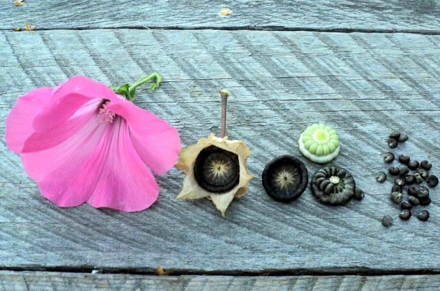 Цветок и семенная коробочка лавареты трехмесячной