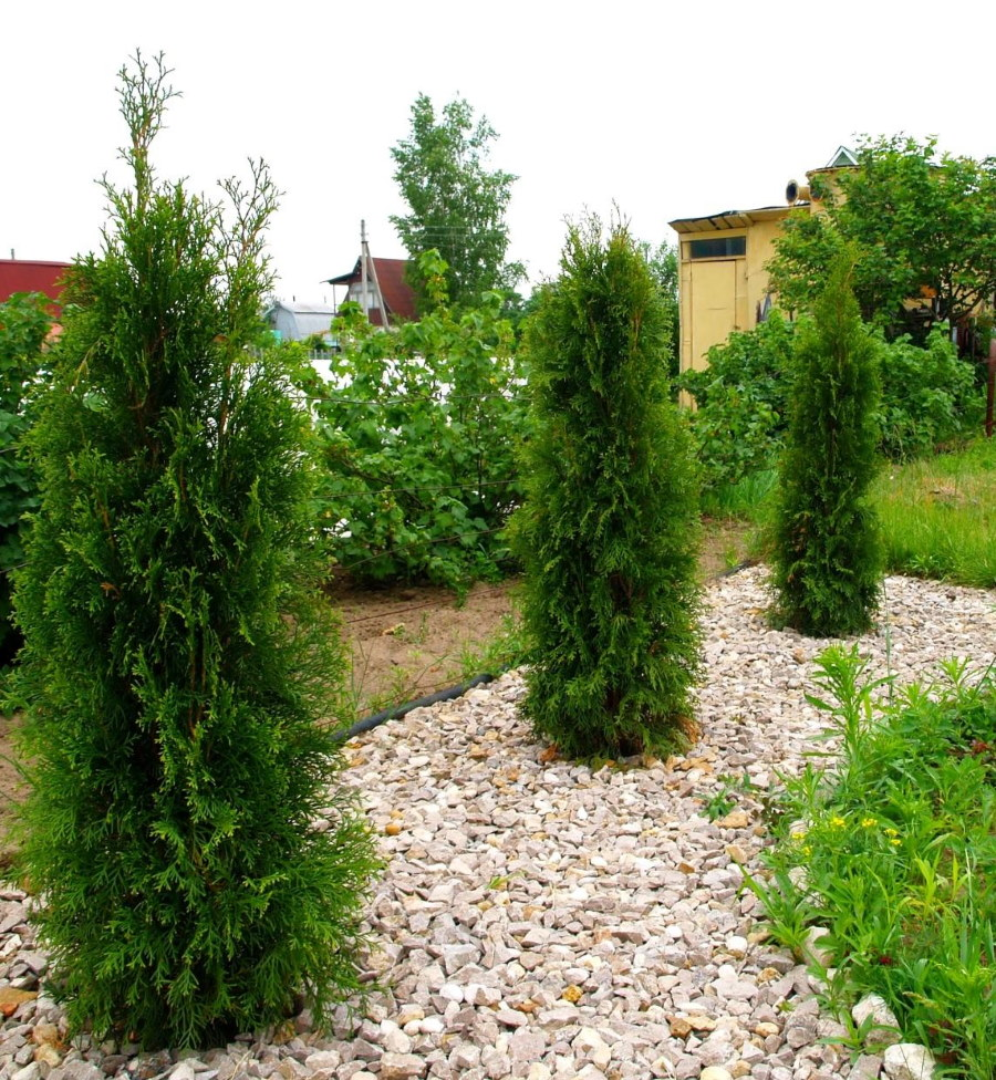 Одиночные посадки колоновидной туи на садовом участке
