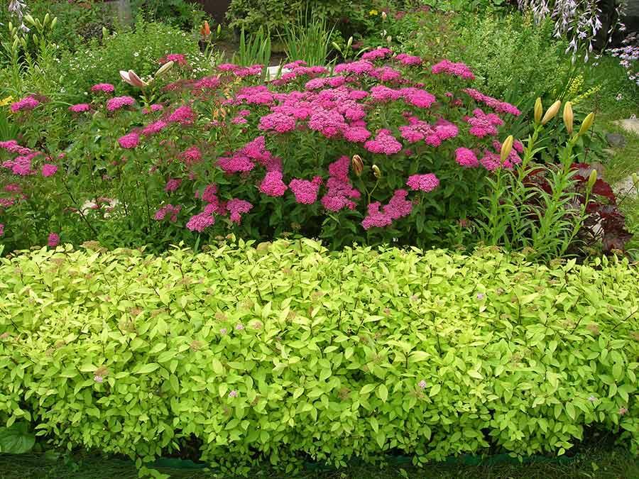 Низкорослые спиреи перед кустиком с розовыми цветками