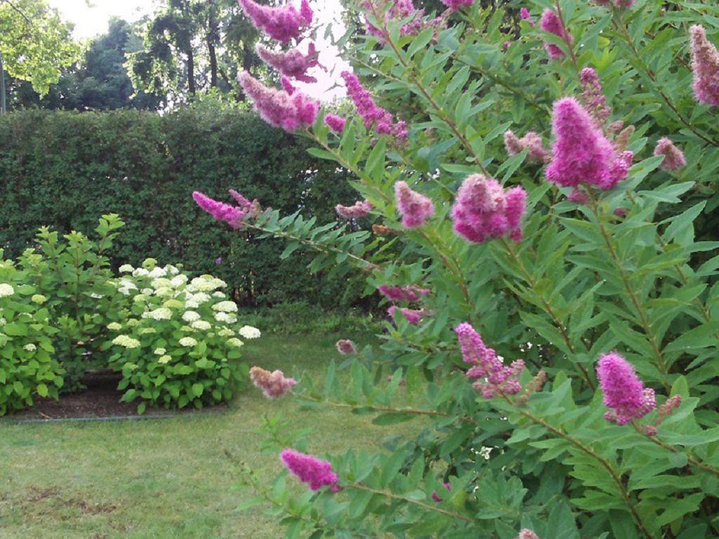 Розовые цветки на ветка спиреи сорта Билларда