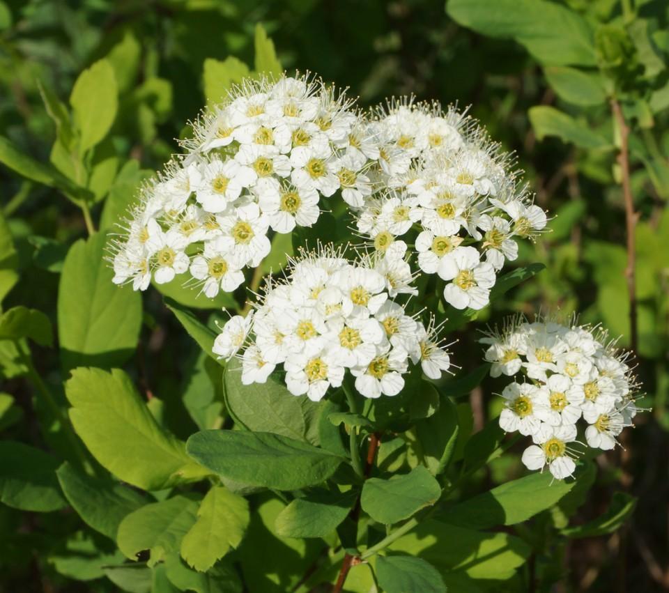 Красивые соцветия на ветках спиреи дубравколистной