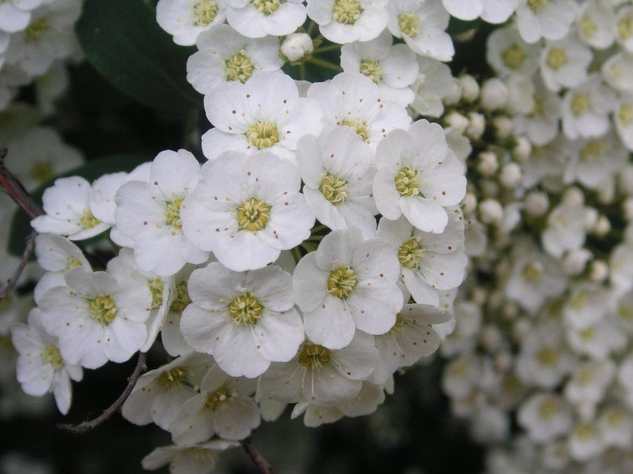 Белые цветки спиреи городчатой крупным планом