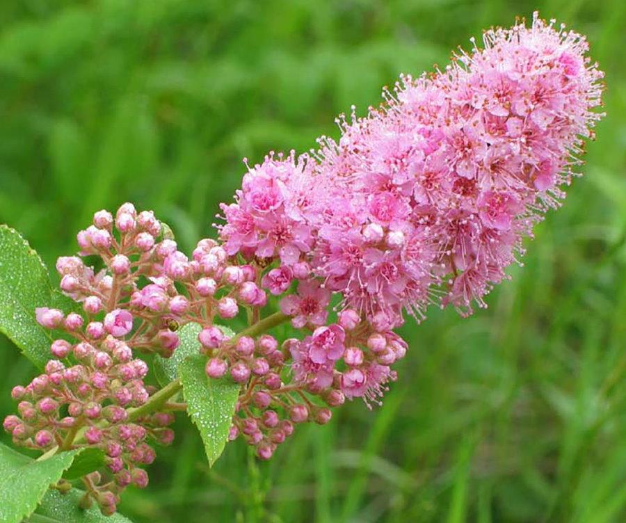Цветущая метелка спиреи сорта иволистная