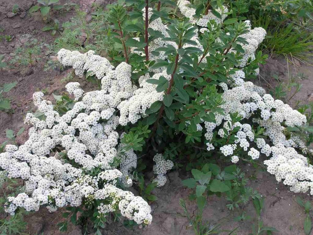 Раскидистые ветки спиреи ниппонской с белыми цветками